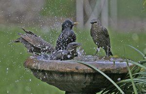 bird-bath-starling