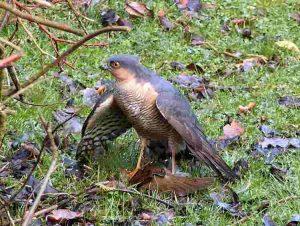 sparrowhawk_male1